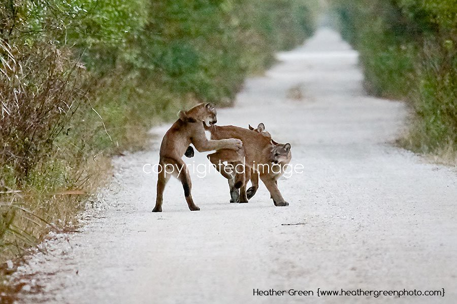 Florida Panther Kittens Playing copyright Heather Green