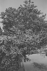 Snow covered tree, 2 (dgrendon) Tags: blackandwhite bw white snow black tree london film covered yashica sights 108
