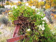 WY-US16nr10sleepCanyon10-06 puffpost closer (lauramdellinger) Tags: flower nature wyoming wildflower tensleepcanyon centralwyoming ushwy16