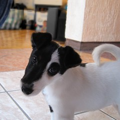 Dora (! Polyhedra !) Tags: dog female puppy foxy adorable canine perro terrier cachorro fox foxie foxterrier pedigree hembra smoothfoxterrier ournewdog pointyfaceddog