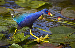 Purple Gallinule (Porphyrula martinica) (pedro lastra) Tags: macro bird nature nikon florida tropical evergladesnationalpark sharkvalley martinica porphyrulamartinica colorphotoaward porphyrula d7000