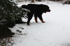 Catching the Moment (sorayrayy) Tags: winter dog mountain snow tree copper bernesemountaindog peeing bernese urinating