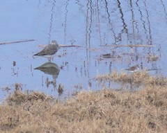 Greater Yellowlegs and Least Sandpiper