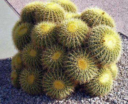 cactus-short