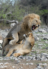 Lion Love 1