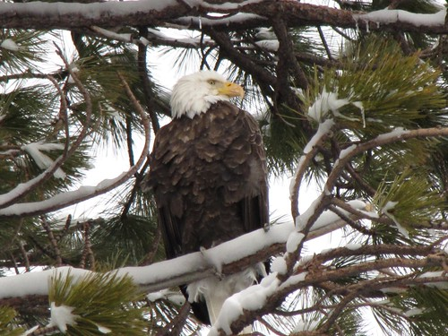 bald eagle at tahoe pam kappelhof mtz