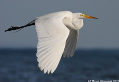 Sunrise colors (v4vodka) Tags: morning white bird animal sunrise wildlife birding flight egret birdwatching greategret shorebird ardeaalba egretta flyingegret czaplabiala czala