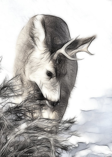 5x7 Mule Deer fract IMG_0391 -1
