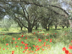 Olive Grove and poppies, Corfu. (Sky and Yak) Tags: tree olive greece shade poppy poppies corfu olivegrove