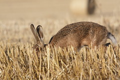 Ducking and diving (trickydicky1964) Tags: summer brown nature barley countryside hare wildlife north norfolk mammals stubble 2010 hares europaeus lepus canon450d sigma150500mmf563dgoshsm glavenvalley trickydicky1964