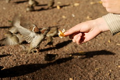 *** (AlennGold) Tags: bird inflight hands shadows sparrow hungry feed brawn