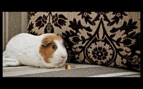 twoguineapigs pet photography guinea pig wiggley on chaise lounge pet portrait
