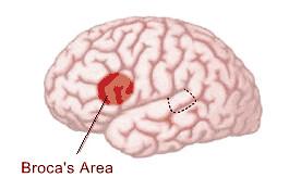 Broca brain