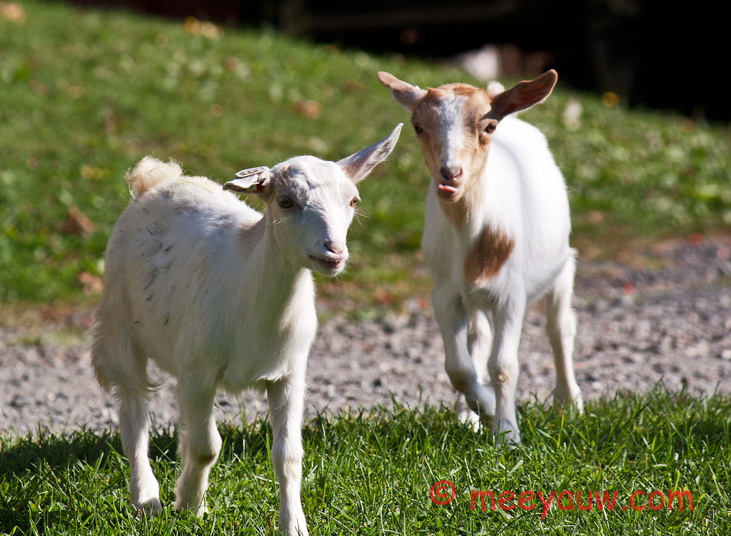 Barton Village Goats01.jpg