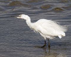 Funky Egret (Andrew Haynes Wildlife Images) Tags: bird nature wildlife rutland egret rutlandwater canon7d ajh2008