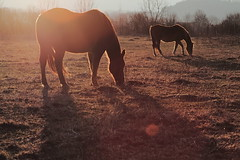 Petit djeuner (Gnome invisible) Tags: light horse canon cheval 100mm jura lumiere 7d franchecomt chevaux