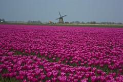 Tulips & Windmill (TJ Morton) Tags: holland windmill raw tulips thenetherlands alkmaar niederlande tulpen nordholland