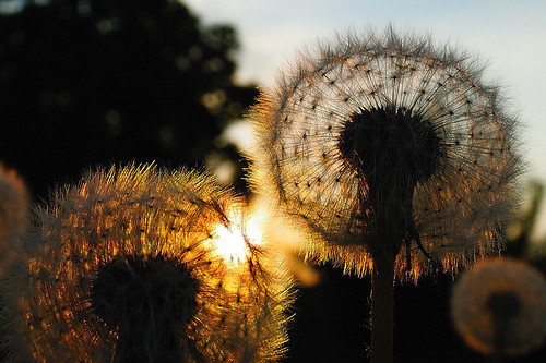 Backlit Dandelion