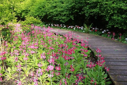 beautiful purple flowers next to a wooden walking path