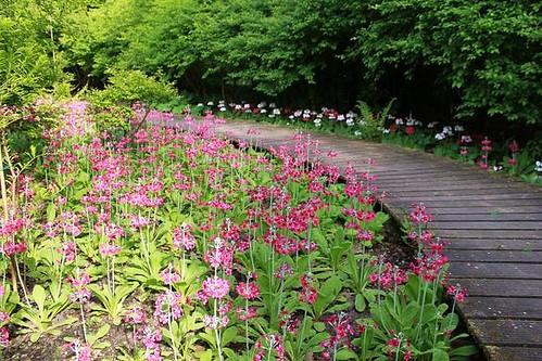 beautiful purple flowers next to a wooden walking path