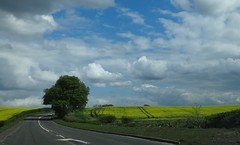 Road to Falkirk,Stirlingshire (cocopie) Tags: lonetree cloudysky oilseedrape