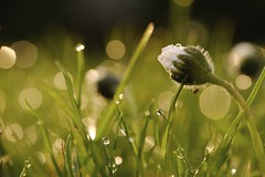 Watching the sun rise. (d_salter) Tags: flower macro sunrise fuji bokeh lawn daisy dcr250 raynox xm1