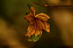 Changing of the Season (hall1705) Tags: seasonal autumn leaf wormswood dof d3200 closeup macro nature changingoftheseason depthoffield