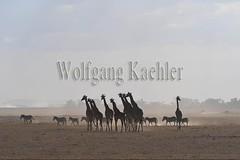 10076054 (wolfgangkaehler) Tags: 2016africa african eastafrica eastafrican kenya kenyan amboseli amboselikenya amboselinatlparkkenya amboselinationalpark wildlife mammal giraffe giraffes giraffacamelopardalistippelskirchi herd tower group burchellszebra burchellszebraequusquagga burchellszebras dust dusty duststorm duststorms