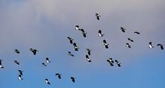 Lapwings (Smabs Sputzer) Tags: birds lapwing avian cloud sky
