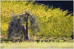 Italy Sept-Oct 2010. Tuscany. Near Abbazia Sant 'Antimo. 9963. (Tiina Gill (busy)) Tags: italy tree nature olive tuscany valdorcia grape vanagram