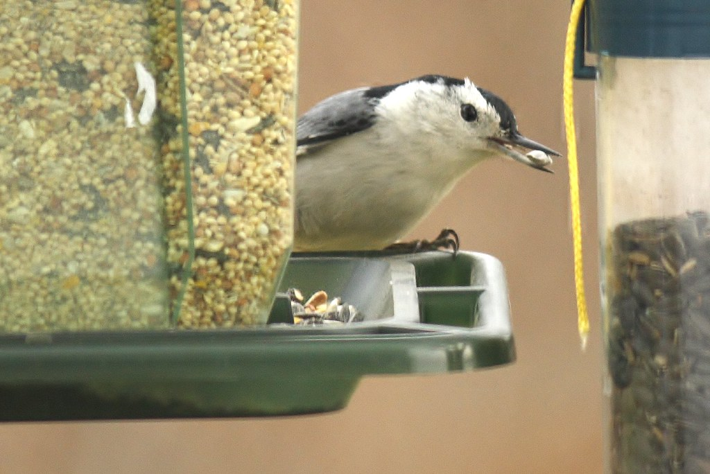 White-breasted nuthatch (13)