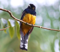 Costa Rica: Gartered Trogon (spiderhunters) Tags: bird costarica violaceoustrogon trogonviolaceus neotropics garteredtrogon trogoncaligatus