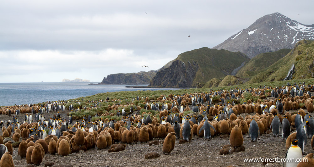 King Penguin, South Goergia Island