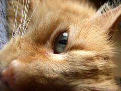 Comfy (Jason A. Samfield) Tags: orange pet cats pets macro eye beautiful animal animals yellow closeup comfortable angel cat hair fur eyes orangecat kitten feline dof tabby ears kittens depthoffield whiskers whisker ear felines orangetabby supermacro depth leeloo catears comfy tabbycat tabbycats catear