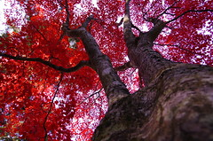 Miyajima Maple ViewingWorldheritage (h orihashi) Tags: japan gate niceshot pentax hiroshima miyajima showroom  torii  k5 worldheritage nationalgeographic itsukushima musictomyeyes   naturesfinest  beautifulearth blueribbonwinner coth  cherryontop supershot bej fineartphotos royalgroup impressedbeauty flickrhearts crystalaward diamondclassphotographer flickrdiamond citrit heartawards theunforgettablepictures diamondstars overtheexcellence justpentax flickrestrellas peaceawards highqualityimages hatsukaichishi rubyphotographer damniwishidtakenthat pentaxart flickraward bestofdamniwishidtakenthat pentaxk5 ringofexcellence