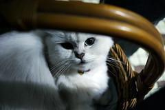 chat blanc heureux