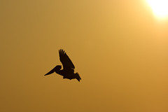 The Gift (ScottJphoto) Tags: sun bird animal yellow sunrise golden nc warm glow flight wing northcarolina pelican gift wrightsvillebeach span brownpelican risingsun