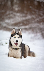 On the snow (Emyan) Tags: winter portrait dog snow nature animals husky maya walk siberian 2010 siber siberians canon180