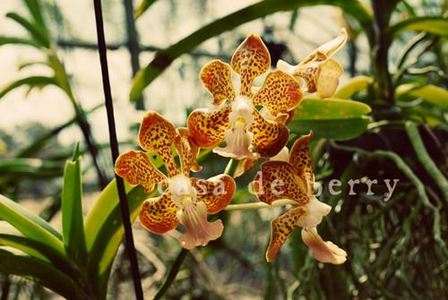 orchids7 copy