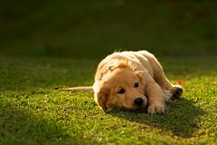 Romeo (Mr_Giobinsky) Tags: shadow summer dog sun goldenretriever golden retriever perro backlighting ourtime