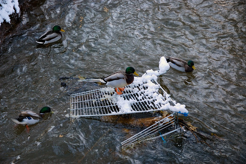 Ducks take charge of feral trolley