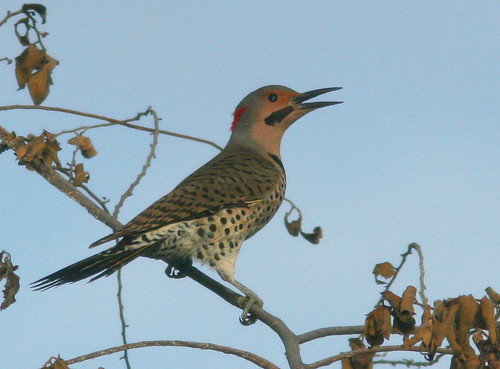 Northern (Yellow-shafted) Flicker 20101218