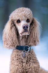 My Angel 50/52 (Perry McKenna) Tags: love spoo cooper standardpoodle redpoodle 52weeksfordogs focusedonme