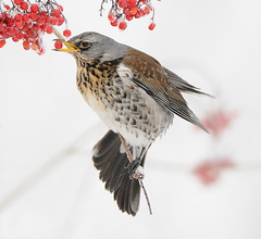 Fieldfare (Turdus pilaris) (m. geven) Tags: winter red snow bird nature animal fauna frost bright feeding hoarfrost sneeuw feathers natuur veer rood dier oiseau avian turduspilaris thrush vogel oiseaux avifauna fieldfare gelderland migrant troep foraging fruiting bosrand lijster veren pluim turdidae guelderrose kramsvogel migratingbird berijpt brightbackground wacholderdrossel gelderseroos forestside wintergast colonybird fourageren wintervogel lichteachtergrond doortrekker grivelitorne lijsterachtige zeldzamebroedvogel rarebreedingbird kolonievogel gemeenteduiven besdragend nederlandthenetherlandsniederlande