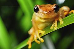 Dendropsophus species (Techuser) Tags: macro animal animals rainforest close nocturnal amphibian treefrog zizo anura raynox canon1855is dendropsophuselegans