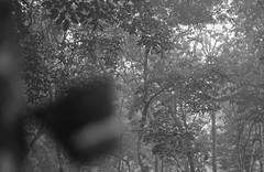 Plantation -7 (HamimCHOWDHURY  [Read my profile before you fol) Tags: life light shadow red portrait blackandwhite sun white black green nature canon eos twilight colorful faces blu sony surreal excellent dhaka vaio rgb hobigonj bangladesh dlsr 60d rubbergarden rubbercultivation 595036 framebangladesh rubberplan digombor dawanbari marufdeawan