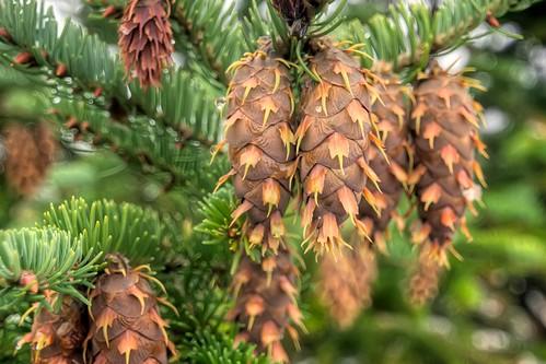 Glacier Pine Cones