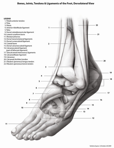 tendons of foot. and Ligaments of the Foot,