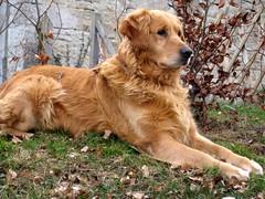 What's going on? (Valkaria) Tags: dog animal goldenretriever winner gamewinner challengeyouwinner achallengeforyouwinner achallengeforyou newenvyflickr pregamewinner