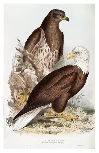 003-Águila de cabeza blanca- The birds of Europe Tomo I-1837- John Gould